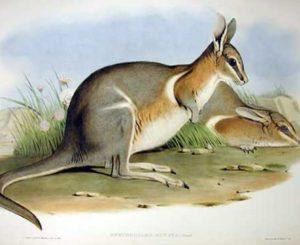 wallaby-cola-puntiaguda