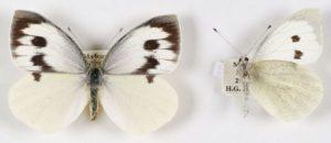 mariposa madeira