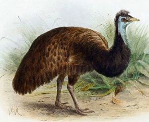 emu-negro