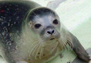 foca-monje-caribe
