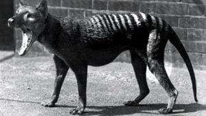 Tigre De Tasmania El Marsupial Que Era Depredador 2021
