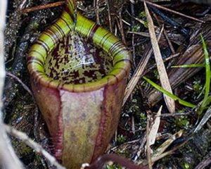 Planta de jarra de Attenborough