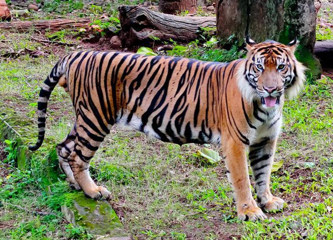 tigre-java