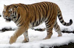 tigre-extinto