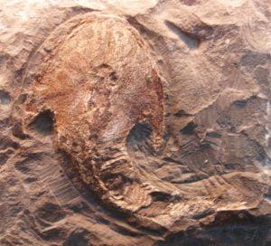 fosiles-agnatos