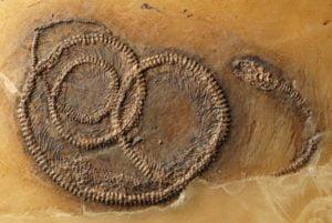 tipos-de-fosiles