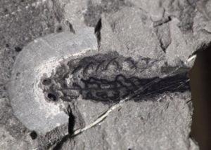 fosil-pez-antiguo