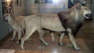 leon-extinguido