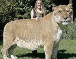 tigre-grande-mundo-ligre-modificado