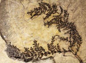 fosil-planta-flor