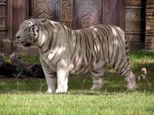 felino-extinto