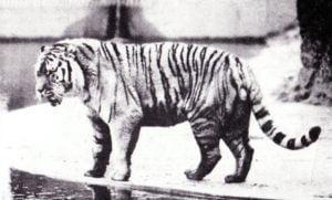 felinos-extintos-tigre