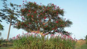 arbol-del-coral