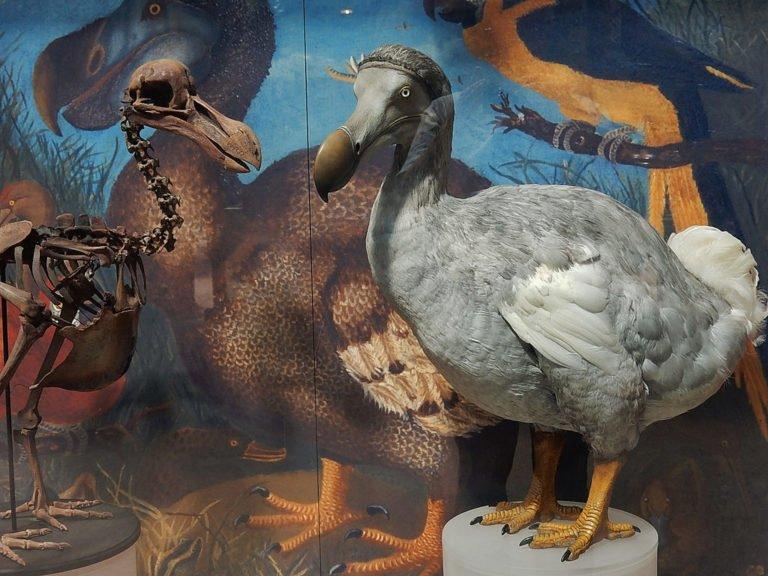 dodo-extinto-hombre
