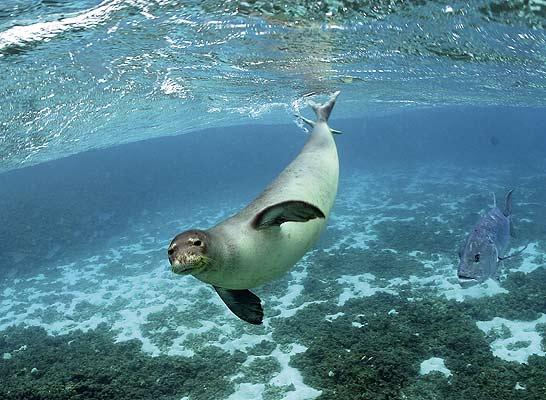 foca monje del caribe
