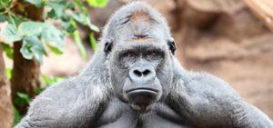 gorilas-montana