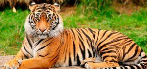 tigre-caspio
