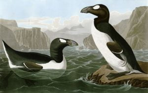 pinguinus-impennus