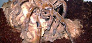 araña-gigante-congoleña