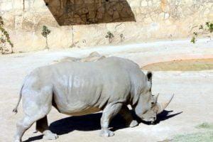 rinoceronte-blanco-peligro