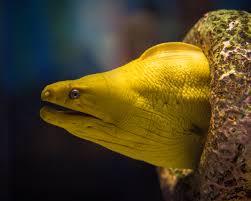 anguilla-anguilla