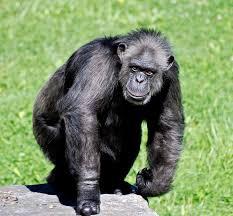 datos-chimpance