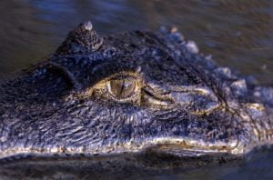 crocodylus-intermedius